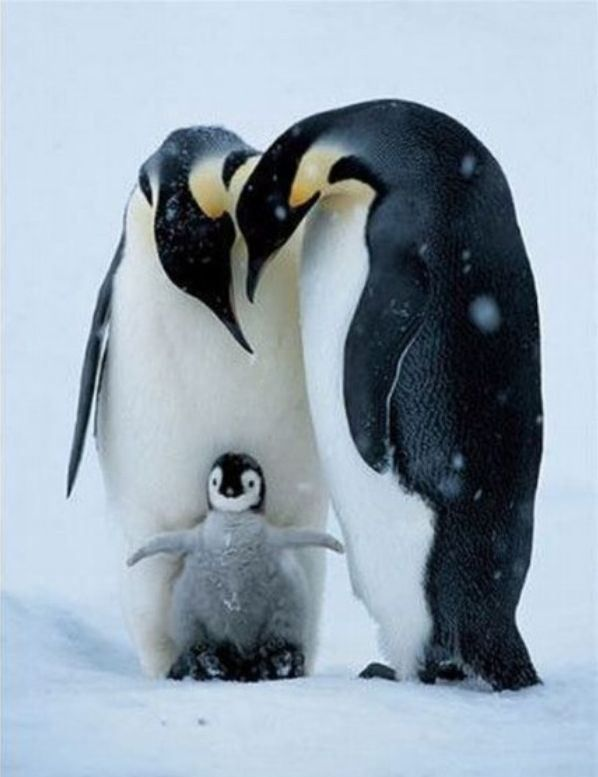 Cute penguin - photo#24